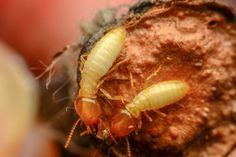 """Termites - the """"queen"""" mates with a single """"king"""" and forms the entire colony. Usually mating for long times, if a pair does break up, things can get violent."""