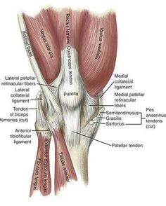 Study 77 KINS Chapter 13 - Knee flashcards from Courtney W. Leg Anatomy, Human Body Anatomy, Human Anatomy And Physiology, Muscle Anatomy, Muscular System, Medical Anatomy, Anatomy For Artists, Anatomy Reference, Knee Pain