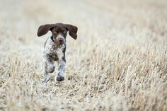 Shorthaired German Pointer