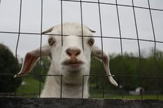 a goat wanting more grass feed to him