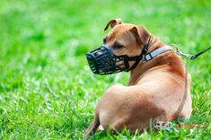 Dog muzzles are gadgets you can use to temporarily control excessive barking, chewing, or even biting in dogs. Best Farm Dogs, Best Dogs, American Staffordshire, Irish Setter, New Things To Learn, Cool Things To Buy, Pitbull, Best Badminton Racket, Some Love Quotes