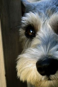 Schnauzer coming in for a kiss