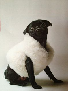 Behold, the latest in pug high fashion!