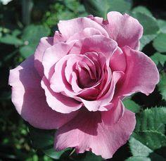 Angel Face A lavender, scalloped edge, very fragrant Floribunda www.nelsonsfloridaroses.com