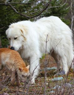 Great Pyrenees & lamb shepherd dog, not sheepdog Pyrenees Puppies, Great Pyrenees Puppy, All Dogs, Best Dogs, Dogs And Puppies, Doggies, Terra Nova, White Dogs, Mountain Dogs