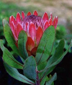 Protea 'Sylvia' part of the Proteaceae family with Burgundy-pink flowers flowering in Fall-winter avaliable from Australian Native Plants located in Ventura, CA Australian Native Flowers, Australian Plants, Amazing Flowers, Beautiful Flowers, Protea Flower, Chinese Flowers, Native Australians, All Things Purple, Trees And Shrubs