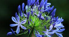 Lekker genieten van tuinplanten voor iedereen Agapanthus, Flowers, Plants, Beautiful, Note, Lifestyle, Twitter, Google, Shop