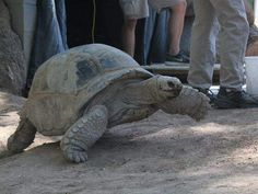 Tortoises get weighed at Phoenix Zoo