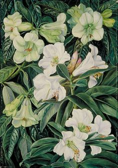 Lillies by Marianne North. Marianne North, a Victorian artist, travelled the world painting the flowers and landscapes she visited. The Marianne North Gallery, opened in Kew Gardens in 1882, houses over 800 of her paintings. Its the only permanent solo exhibition by a female artist in Britain. http://www.kew.org/collections/art-images/marianne-north/index.htm