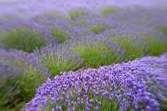 Lavender field (the link is to a lavender ice cream recipe)