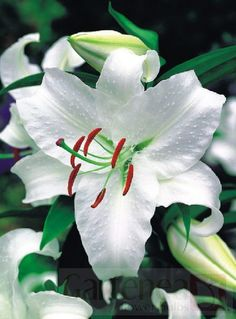 Lilies.. Casa Blanca will be used in the bridal bouquet and the altar floral as a special touch