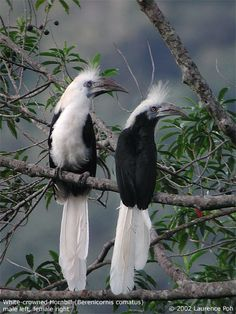 White-crested or Long-tailed Hornbill pair - humid forests of C. & W.Africa