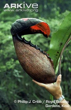 Image detail for -ARKive - Pitcher plant photo - Nepenthes rajah - G4724