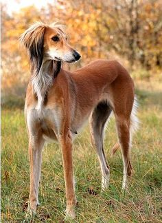 Of all the sighthounds, I like the Saluki the best.
