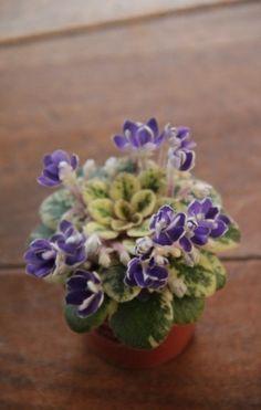 Petite Jewel | (Pittman) Double lavender blue two tone. Variegated, plain. Miniature.