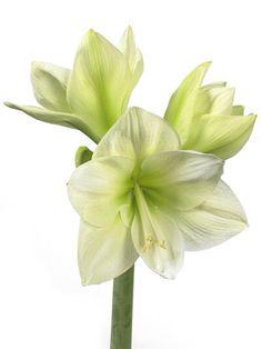 amaryllis wit