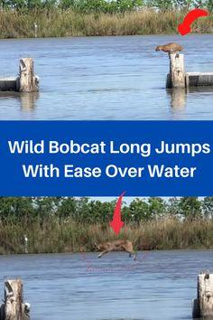 #wild #bobcat #long #jump #ease #over #water #amazing Daily Life Hacks, Long Jump, Diy Pins, Animals Beautiful, Mother Nature, Diy Crafts, Pets, Amazing, Water