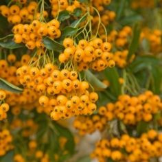 gardening in clay soil - try Pyracantha 'Soleil d'Or' (Firethorn) Clay Soil, Trees And Shrubs, Quail, Hedges, Vines, Garden Design, Yard, Gardening, Flowers