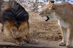 Incluso el Rey de la jungla sabe que no tiene que molestar a su mujer.
