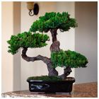 Please allow up to 14 days for delivery.Neither plastic nor silk, this preserved bonsai tree has real foliage and a real wooden trunk that was carefully handcrafted and preserved to protect its natural fragrance, color and texture indefinitely. No watering, trimming or maintenance is required. With its timeless beauty evoking a feeling of nature, this accent piece accommodates any architectural setting.  Our one-of-a-kind preserved bonsai is planted in a traditional glazed ceramic imported…