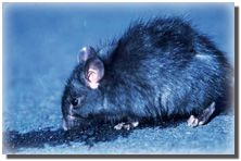 Roof rats enjoy living in attics, ceilings or wall areas. They tend to chew on wires found in homes, which can potentially lead to fires, power outages and other problems! Click to learn how to get rid of these rodents! #homeowner