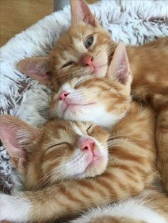 Free Cats And Kittens Perth my Cute List Of Animals it is Cats And Kittens For Sale Southampton. Cats And Kittens Breeds Cute Cats And Kittens, I Love Cats, Crazy Cats, Cool Cats, Kittens Cutest, Ragdoll Kittens, Bengal Cats, Kittens Meowing, Kittens Playing