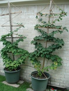 idea to grow hops at home. Hop bines grow crazy fast and this helps keep them in check, plus it is a great way to create an outdoor room! Small Garden, Hops Trellis, Garden Projects, Hops Vine, Plants, Garden, Growing Grapes, Diy Trellis, Container Gardening