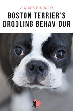 How Much Drooling to Expect from Boston Terriers #bostonterrier #bostonterrierpuppy  #bostonterrierfacts #bostonterriercare #bostonterrierhealth #bostonterrierbehaviour #bostonterriertemperament #owningabostonterrier #dogdrooling #dogbehaviour #dogfacts #dogfactsinteresting #dogowner