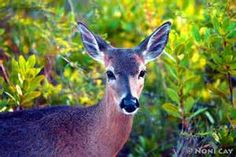 Key Deer Love | Noni Cay Photography