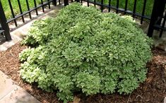 Image result for variegated pittosporum