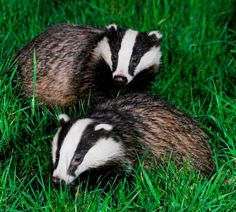 The pilot badger culls – a series of unfortunate events… A Series Of Unfortunate Events, Animal 2, Large Animals, Badger, Otters, Squirrels, Pilot, Insects, Birds