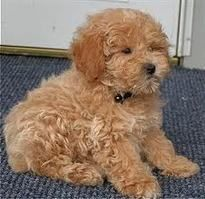 The poodle is a group of formal dog breeds, the Standard Poodle, Miniature Poodle and Toy Poodle one registry organisation also recognizes a Medium Poodle variety, between Standard and Miniature, with many coat colors. Red Poodles, Mini Poodles, French Poodles, Treeing Walker Coonhound, Skye Terrier, Poodle Grooming, Dog Grooming, Cane Corso, Moyen Poodle