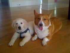 Corgi and Golden Retriever Puppy