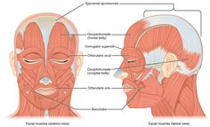 Many of the muscles of facial expression insert into the skin surrounding the eyelids, nose and mouth, producing facial expressions by moving the skin rather than bones.
