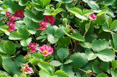 Fragaria x Lipstick Ornamental Strawberry. Clumping groundcover for sun. Underplant below ornamental trees and shrubs.