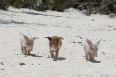 The Swimming Pigs Of Big Major Cay, Bahamas  Big Major Cay in the Bahamas is a small, uninhabited island and very popular anchorage. The Exuma Banks side of the island has two beautiful beaches, one of which is home to one of the most famous attractions in the area — swimming pigs!