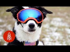 Meet Piper the aviation bird dog. Piper protects the planes at Cherry Capital Airport from bird strikes and for that he gets to wear these super cool goggles! Planet Earth Series, Bird Strike, Different Birds, Dog Stories, Dog Rules, Big Love, Service Dogs, Working Dogs, Cat Memes
