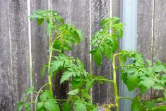 String em up! Climbing tomatoes often need a helping hand to reach their full potential. Here's two favorite methods for stringing up best ever backyard tomatoes. Farm or patio, tomatoes are the go. Can't imagine summer without them. Tomato Trellis, Garden Trellis, Organic Gardening, Gardening Tips, Vegetable Gardening, Cucumber Plant, Urban Homesteading, Growing Tomatoes, Helping Hands