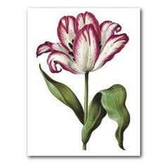 "genus Tulipa 65 - 5"" x 7"" Museum Quality Greeting Card from Laurel Ink"