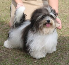 Some of the things I enjoy about the Havanese Dog Cute Husky Puppies, Havanese Puppies, Baby Puppies, Dogs And Puppies, Labradoodle, Doggies, I Love Dogs, Cute Dogs, Havanese Grooming