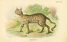Antique print: picture of Desert Cat -