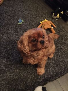 King Charles Spaniel, Cavalier King Charles, Puppy Love, Puppies, Boys, Animals, Baby Boys, Cubs, Animales