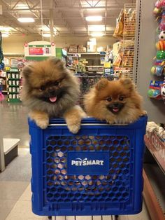 Wookie and Luni of My Pom Pals shopping in their favorite store