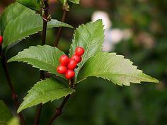 千両(センリョウ)の水やりなどの育て方や植え付けの方法などを紹介します。千両(センリョウ)は赤い実をたくさんつけ、お正月の縁起物としても使われている植物です。 | 1ページ目