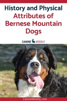 Bernese Mountain Dogs Facts | Bernese Mountain dogs are endearing canines that often make wonderful family pets. Read here to learn more about this calm, good-natured and strong dog breed. #canineweekly #bernesemountaindogsfacts #bestlargedogbreeds #stron Best Large Dog Breeds, Lazy Dog Breeds, Top Dog Breeds, Dogs And Kids, Big Dogs, Large Dogs, Dogs And Puppies, Bernese Mountain Dog Temperament, Mountain Dog Breeds