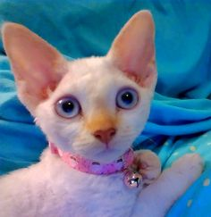 Devon Rex Cat  Sugar @ 12 wks. 2012