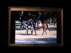 """This guy is awesome and his video made me laugh (warning, if you are a Parelli follower you will not find this amusing at all).  Calling out some abusive horse trainers and abusive methods.  """"Idiots!"""""""