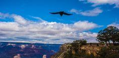 Raven soars the Grand Canyon South Rim