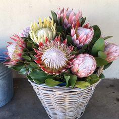Basket full of beautiful King Protea - Pamona Farm