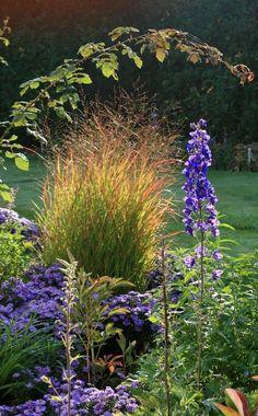 Wenn sich das Laub der Rutenhirse (Panicum virgatum) im Herbst langsam färbt, wirkt es im Beet wie ein kleines Leuchtfeuer